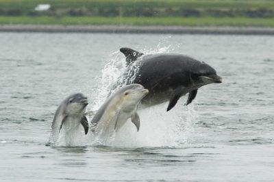 Nauka techniki zdobywania pożywienia u delfinów jako przykład nowych odkryć w dziedzinie zachowań behawioralnych zwierząt