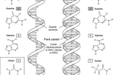 Nowe odkrycia naukowe stawiają RNA w centrum uwagi