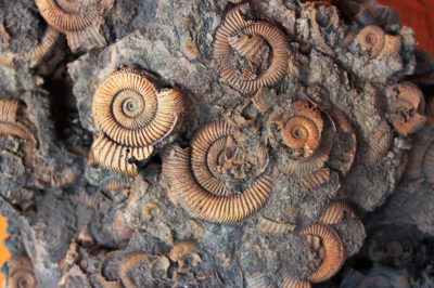 Czym są skamieniałości? – czyli o paleontologii słów kilka